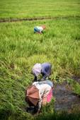Asian workers in rice paddy field — Stock Photo