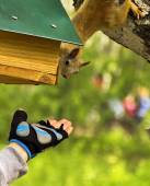 Red squirrel reaches for the outstretched hand — Stock Photo