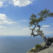 Pine tree growing on top of a cliff above the Black sea — Stock Photo #75874389