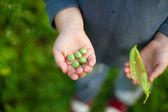 Pea child hand — Stock Photo