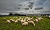 Sheep from sardinia — Stock Photo