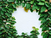 Creeping fig on the white wall — Stock Photo