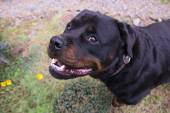 Portrait of a dog - rottweiler — Stock Photo
