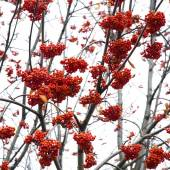 Red mountain ash. Rowan tree berry close up — Stock Photo