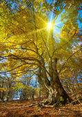 Big autumn tree — Stock Photo