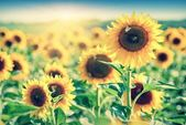 Shining sun above sunflowers field — Stock Photo