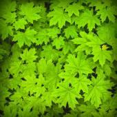 Gröna lönnlöv bakgrund — Stockfoto