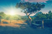 Relict pine trees at  Crimea — Stock Photo