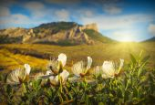 White flowers of Caper grass — Stock Photo
