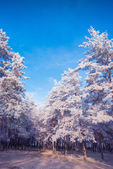 Hoar frost forest — Stock Photo