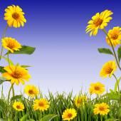 Gelbes gänseblümchen hintergrund — Stockfoto
