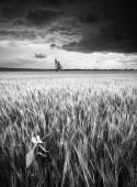 Storm in a wheat field. Monochrome colors — 图库照片
