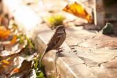 Sparrow (Passer Domesticus) — Stock Photo