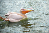White pelican wading in  pond — Stock Photo