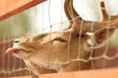 Fallow deer showing tongue — Stock Photo