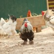 Rooster with group of hens — Stock Photo #74288449