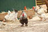 Rooster with group of hens — Stock Photo