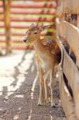 Fallow deer animal — Stock Photo