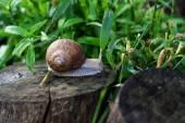 Snail Helix pomatia — Stock Photo