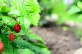 Berries in the garden — Stock Photo