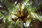 A close-up image of coconuts hanging on a palm tree arranged by  — Stock Photo