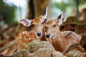 A couple of young capreolus deers lying together at a natural pa — Stock Photo