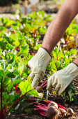Planting and harvesting at an organic farm  — Stock Photo