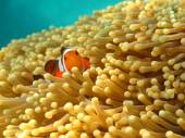 Clownfish or Anemonefish, well known as Nemo, in Sea Anemone — Stock Photo