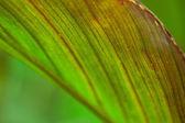 Natural  Canna leaf — Stock Photo
