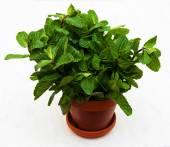 Mint in a clay pot — Stock Photo
