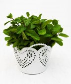 Mint in a white pot — Stock Photo