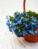 Forget-me-nots flowers — Foto Stock