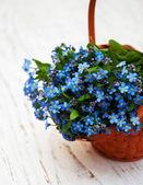 Forget-me-nots flowers — Zdjęcie stockowe