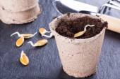 Sprouted pumpkin seeds — Stock Photo
