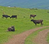 Cows in the mountains, Mtskheta, Georgia — Stock Photo