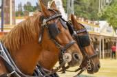 Horses decked in fair — Stock Photo