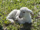 Newborn lamb in a green meadow — Stock Photo