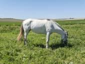 Witte paard in veld — Stockfoto