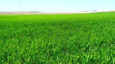 Campo de trigo verde creciendo (4k) — Vídeo de Stock