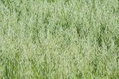 Avena green field — ストック写真