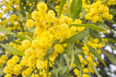 Acacia dealbata flower (silver wattle, blue wattle or mimosa) — Stock Photo