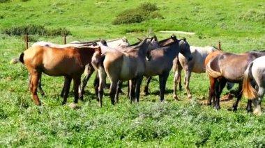 Herd of horses in a meadow, wild life — Stock Video
