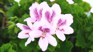 Geranium flowers, Pelargonium, spring time (4K) — Video Stock
