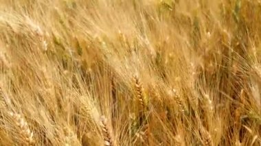 Harvest of ripe wheat and ready to pick (4K) — Stock Video