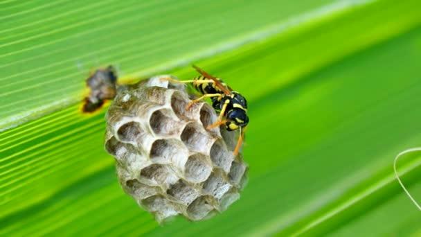 Avispa construyendo un nido en una hoja de Palma (4k) — Vídeo de stock