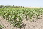 Corn crop growing — Stock Photo