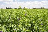 Medicago sativa in bloom (Alfalfa) — Stock Photo