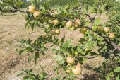 Apples on the tree, apple tree — Stock Photo
