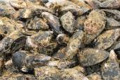 Uncleaned mussels in the fish market — Stock Photo