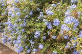Blå blommor plumbago auriculata, Kap leadwort, blå jasmine — Stockfoto